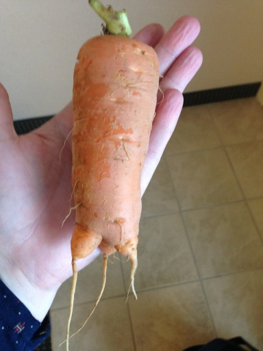 A carrot we harvested from the garden!